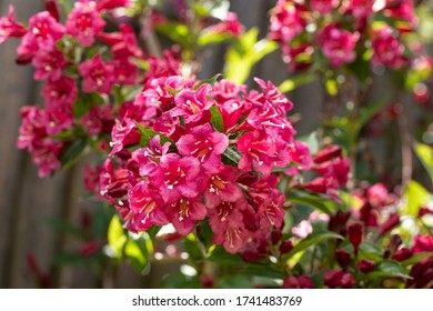 Blooming Weigela bush in the garden