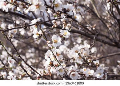 blooming white apricot branches. Spring card. April day. Spring nature.