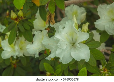"Blooming white azalea bush variety ""Snegurochka"" in the greenhouse"