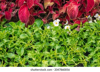 Blooming white begonia flowers with green leaves, next to red Herbst's bloodleaves - Shutterstock ID 2047860056