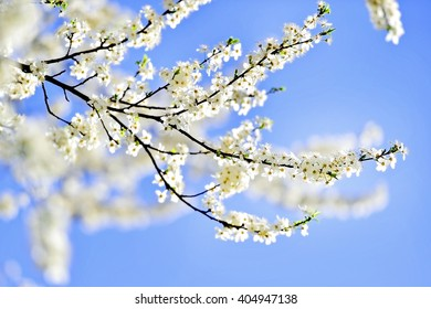Blooming white cherry flowers on a tree in springtime with blue sky on background