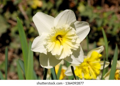 Blooming white Daffodils flower, knows also as Wild Daffodil or Lent lily in spring season. Narcissus Blossom (Narcissus pseudonarcissus).