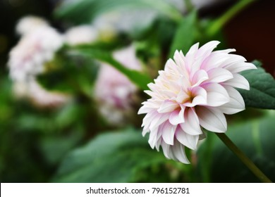 Blooming white dahlia flower in the garden with copy space