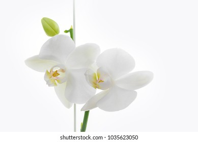 Blooming white felenopsis (orchid) on a white background.
