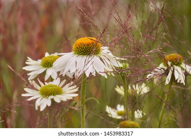 blooming white flower blossoms of the type echinacea purpurea alba on a meadow