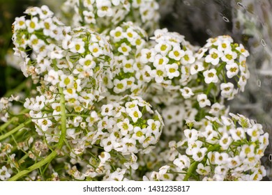 Blooming white flowers of heliotrope