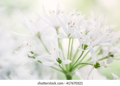 Blooming white garlic (Allium ursinum)