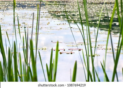 Blooming white lilies (Nymphaea alba, also known as the European white water lily, white water rose, white nenuphar) on a lake behind blur leaves bulrush