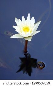 Blooming white Lotus flower or Nymphaea nouchali or Nymphaea stellata is a water lily of genus Nymphaea.