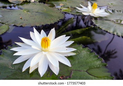 Blooming white lotuses in a pond as a symbol of cleanliness