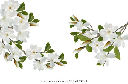 blooming white magnolia bouquet flower isolated on white background.