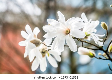 Blooming white Magnolia Stellata in the garden in the spring.closeup