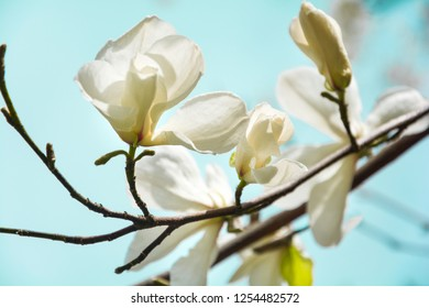 Blooming white magnolia tree in the spring on sky background. Selective focus