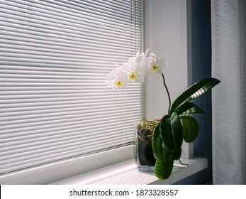 Blooming white orchid on the windowsill.   Phalaenopsis on background of blinds. Green home plants. Side view, copy space.Home flower in a background of louvers, close-up. Side view, copy space. - Shutterstock ID 1873328557