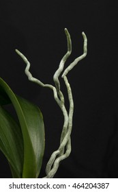 blooming white orchid  stem and leaves roots on a black background