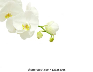 Blooming white orchids flower isolated on white background