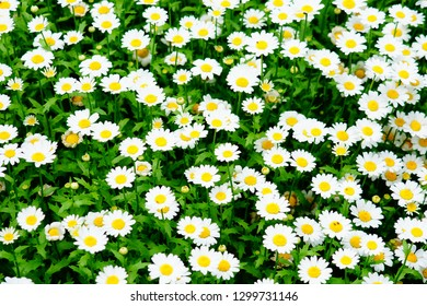 Blooming white petal chamomile or camomile flowers, the daisy-like blossom during spring time season