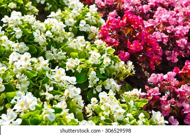 blooming white and pink flowers in a garden