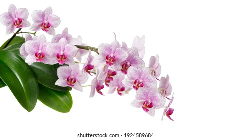 A blooming white pink orchid of genus phalaenopsis, variety Rotterdam isolated on white background.  Home and garden interior flowers. Floral frame or border