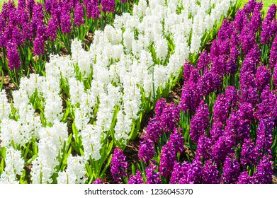 Blooming white and purple hyacinth flowers. Beautiful spring nature