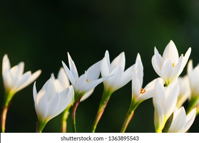 blooming white rain lily flower