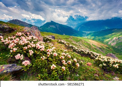 Blooming white rhododendron flowers in the Caucasus mountains in June. Cloudy morning view of the mountain hill in Upper Svanetia, Georgia, Europe. Beauty of nature concept background.