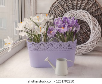 Blooming white and striped crocuses in a plastic basket and decorative watering can on  window in winter