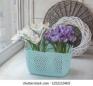 Blooming white and striped crocuses in a plastic basket  on  window