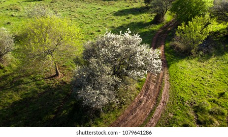 a blooming white tree in aerial view at the edge of a path