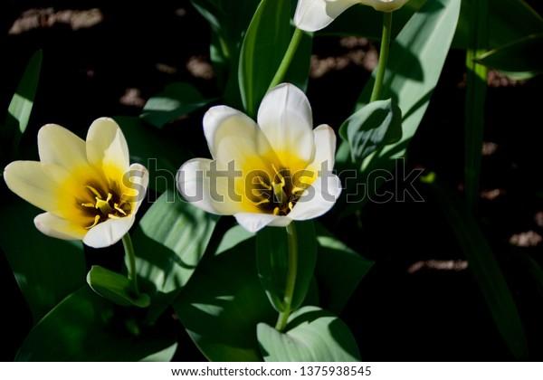 Blooming white tulips