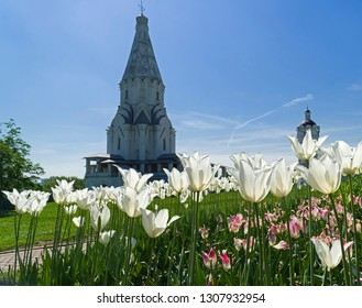 Blooming white tulips on the background of the Church of the Ascension of the Lord in Kolomenskoye, Moscow. Sunny day in the middle of May.