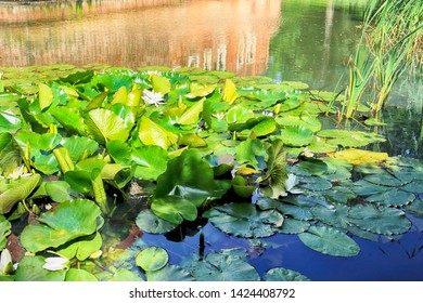 Blooming white water lilies and lily pads cover the surface of a pond.