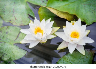 Blooming White Waterlilies in the pond after the rain. Sun-flare effect added.