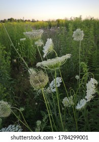 Blooming wild carrot, daucus carota on a meadow.