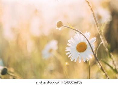 Blooming Wild Flower Matricaria Chamomilla Or Matricaria Recutita Or Chamomile. Commonly Known As Italian Camomilla, German Chamomile, Hungarian Chamomile, Wild Chamomile In Summer Meadow.