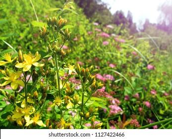 Blooming wild flowers and hеrbа hуреrici closeup outdoors