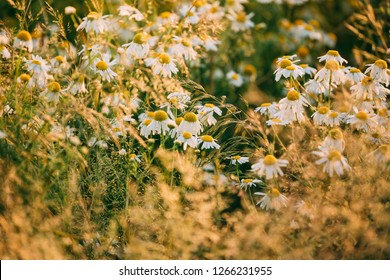 Blooming Wild Flowers Matricaria Chamomilla Or Matricaria Recutita Or Chamomile. Commonly Known As Italian Camomilla, German Chamomile, Hungarian Chamomile, Wild Chamomile In Summer Meadow.
