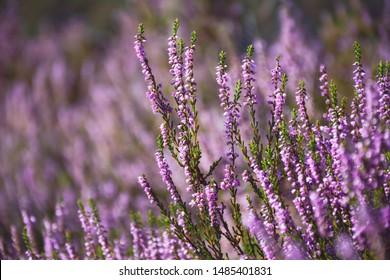Blooming wild purple common heather (Calluna vulgaris). Nature, floral, flowers background.