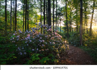 blooming wild rhododendron in Moore state park at sunrise