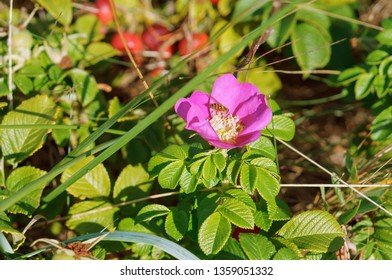 blooming wild rose Bush, the flowers of wild rose medicinal