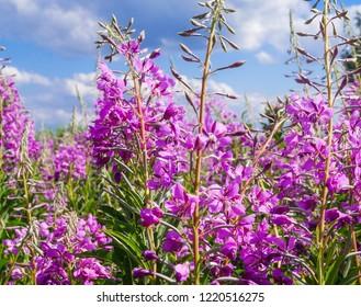 Blooming Willow herb Ivan tea fireweed Epilobium angustifolium