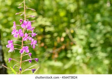 Blooming Willow herb Ivan tea fireweed Epilobium angustifolium background