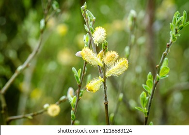 Blooming willow tree with pussy buds in the spring in beautiful green and yellow colors