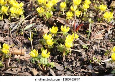 Blooming winter aconite (Eranthis hyemalis (L.) Salisb.) in early spring garden