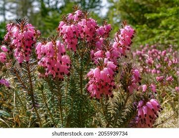 Blooming Winter heath, Winter Flowering Heather or Spring heath (Erica carnea, Erica herbacea), Bavaria, Germany, Europe