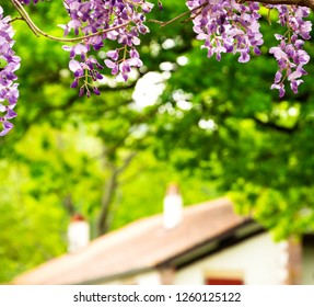 Blooming wisteria and blurry rural house at background. Relaxing countryside spring vacation background. French Basque Country, France.