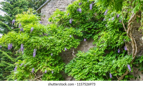 Blooming Wisteria climbing up an old wall of a manor house in the UK
