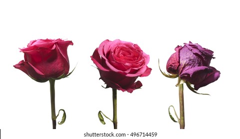 Blooming and withering roses  as a symbol of youth, maturity and aging