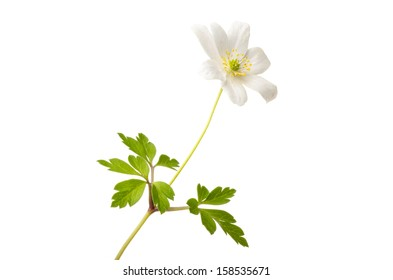 Blooming wood anemone isolated on white background