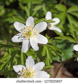 Blooming wood anemones, Anemone nemorosa, in spring